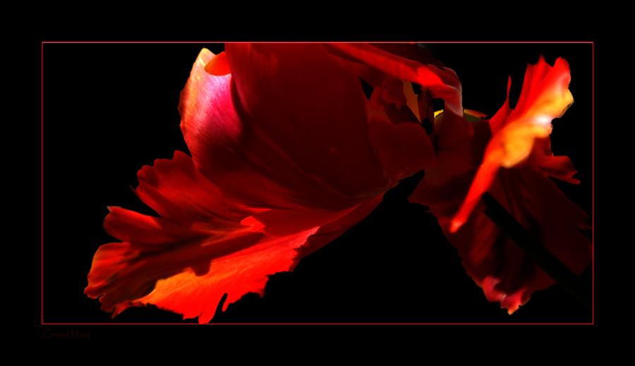 Detail einer Tulpenblüte