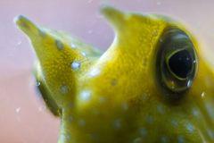 Detail eines Kuhfisches