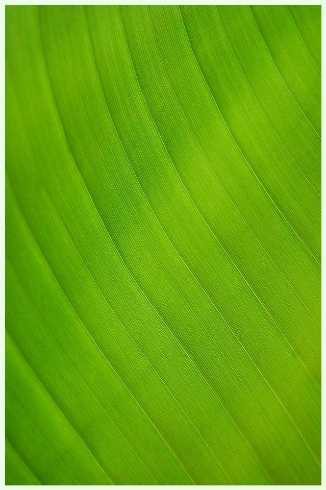 Detail vom Bananenblatt