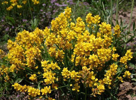 Detail Wildblumenwiese
