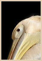 Detailaufnahme eines Rosa Pelikans