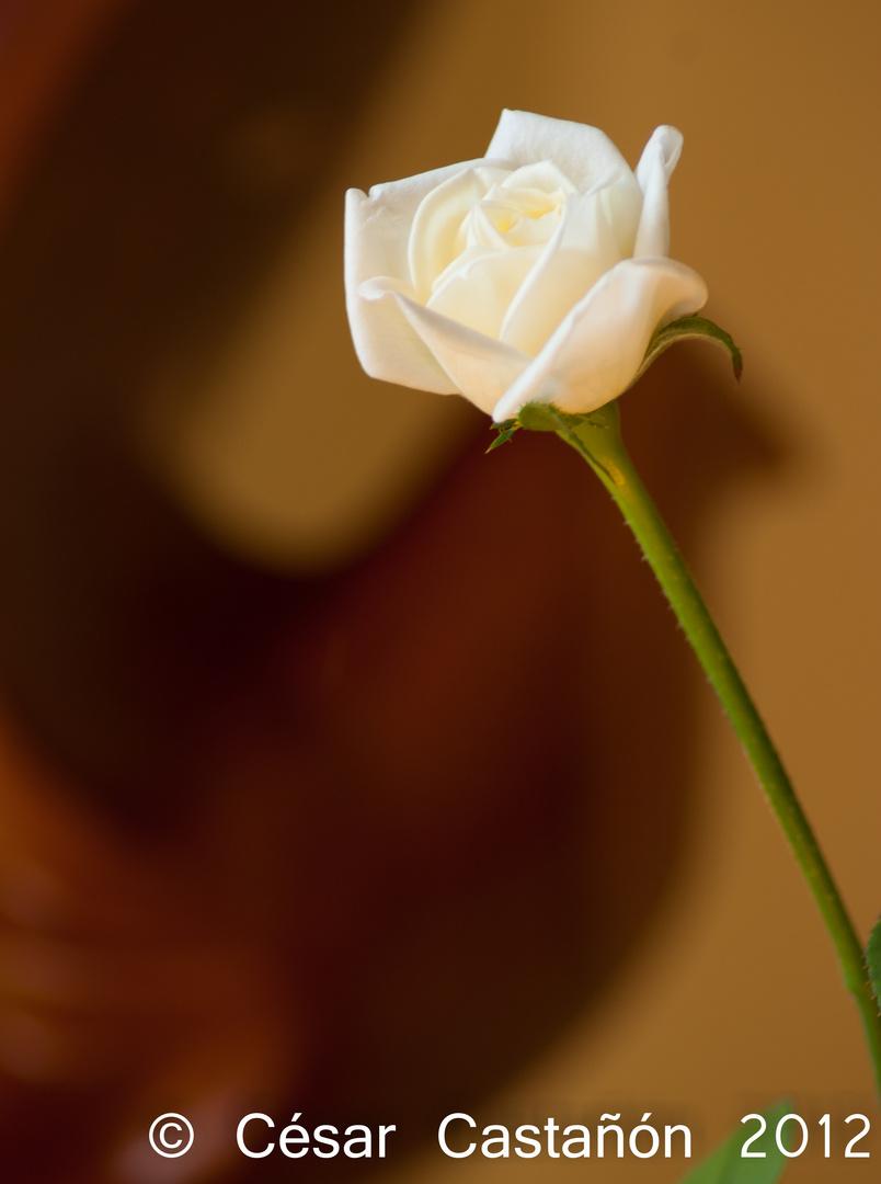 Detrás de la rosa
