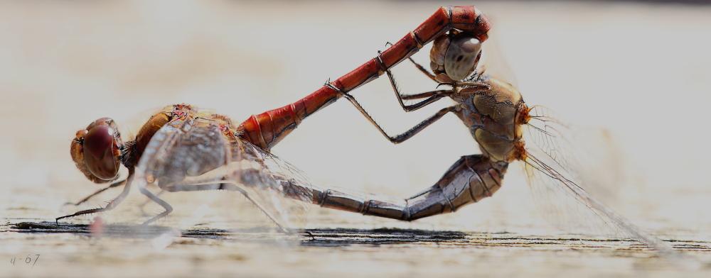 Dettingen an der Erms, Libellenpaar bei Lieblingsbeschäftigung