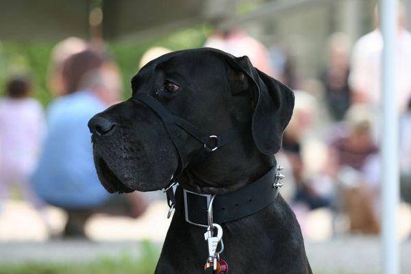 Deutsche Dogge beim Dogday