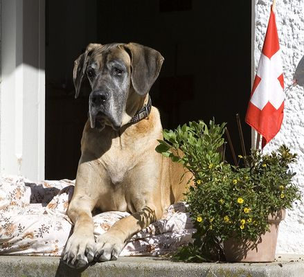 Deutsche Dogge bewacht Schweizergrenze