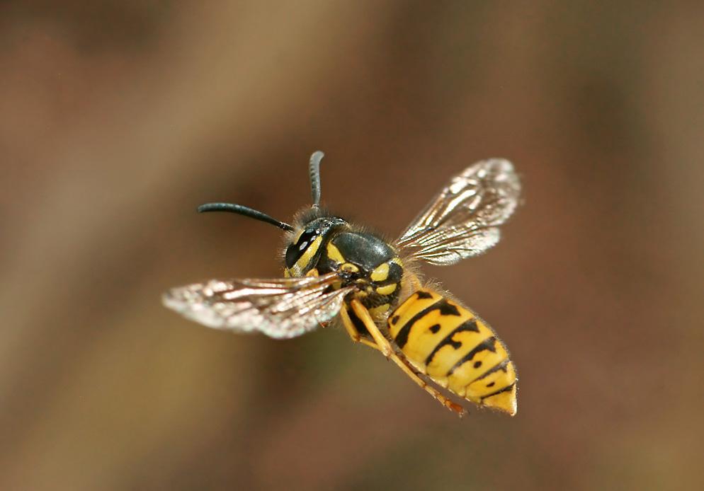 deutsche wespe foto bild tiere wildlife insekten bilder auf fotocommunity. Black Bedroom Furniture Sets. Home Design Ideas