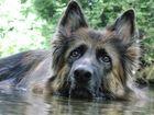 Deutscher Schäferhund German Shepherd Dog