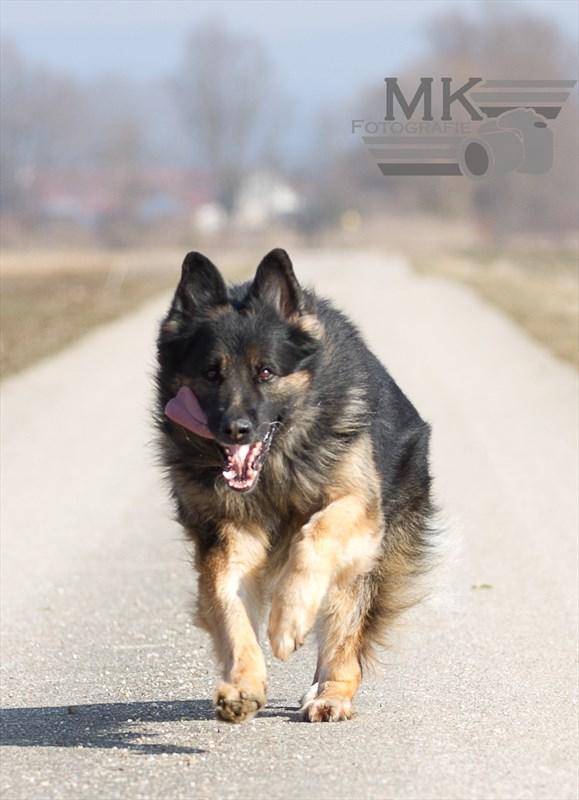 Deutscher Schäferhund - Ivan