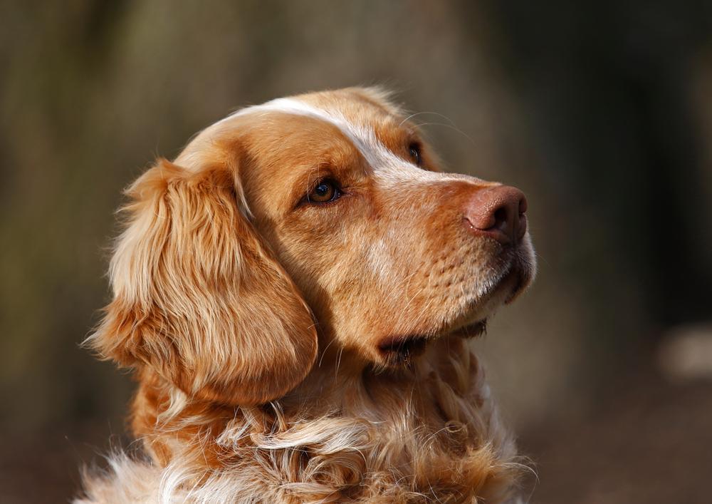 Deutscher Wachtelhund