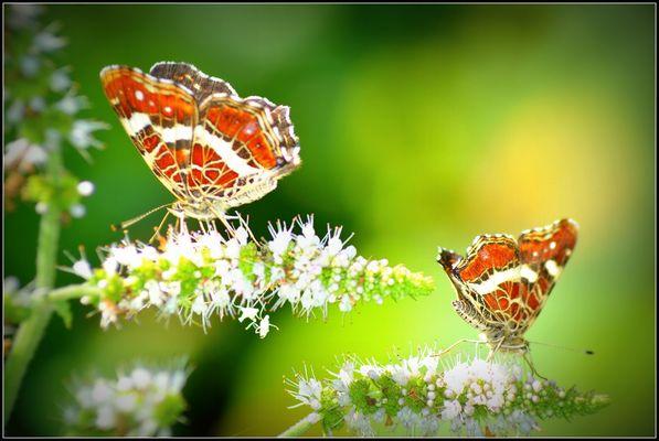 Deux jolis papillons......