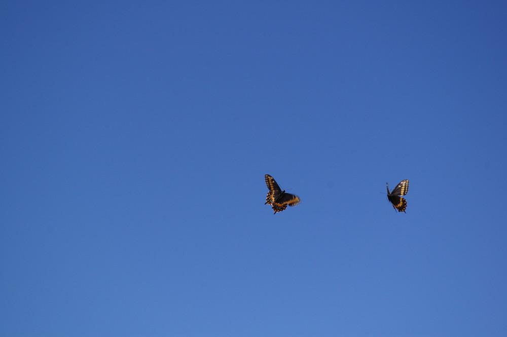 deux papillons s'amusant dans le ciel...