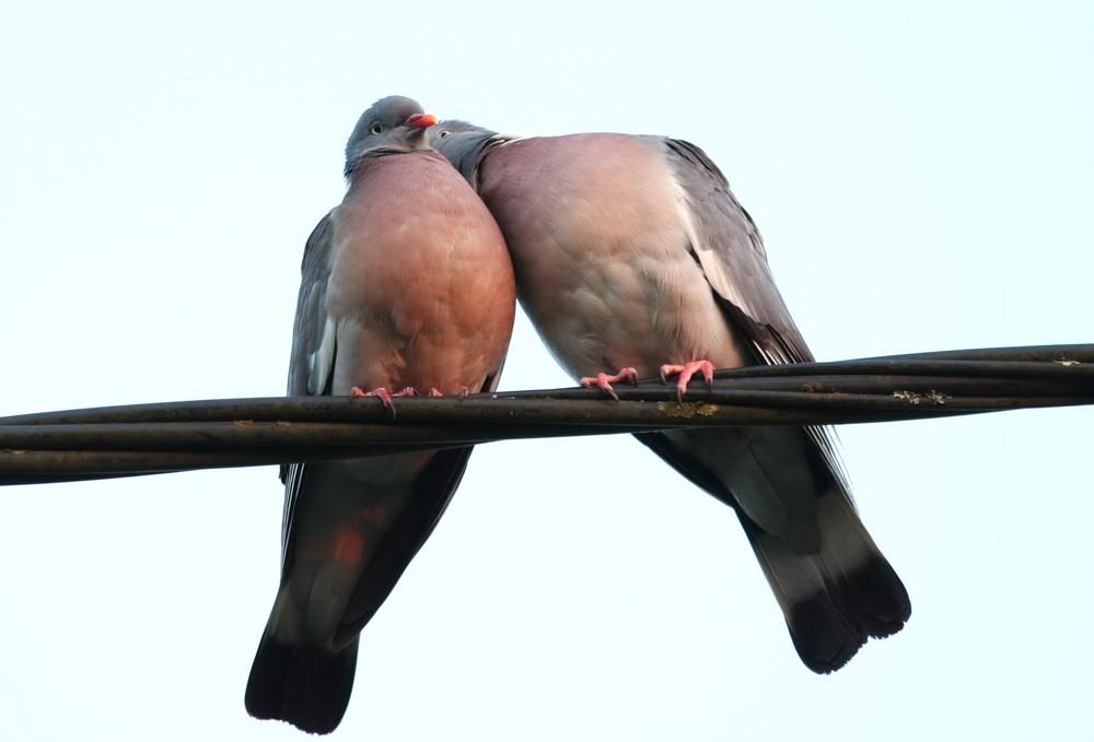Deux pigeons .....