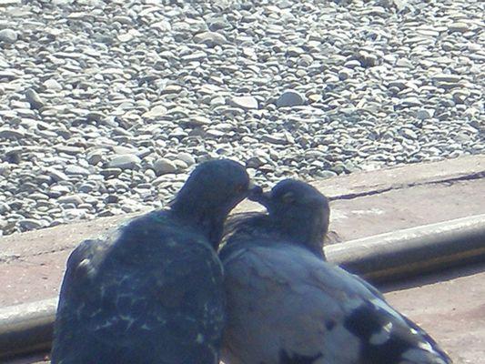 deux pigeons s'aiment d'amour tendre