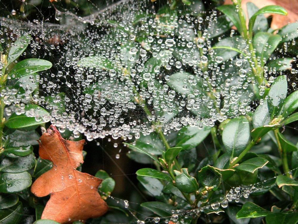 dewdrups in a spiderweb #2
