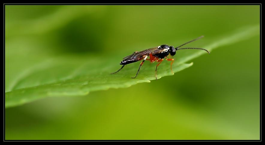 Diago-Insekt