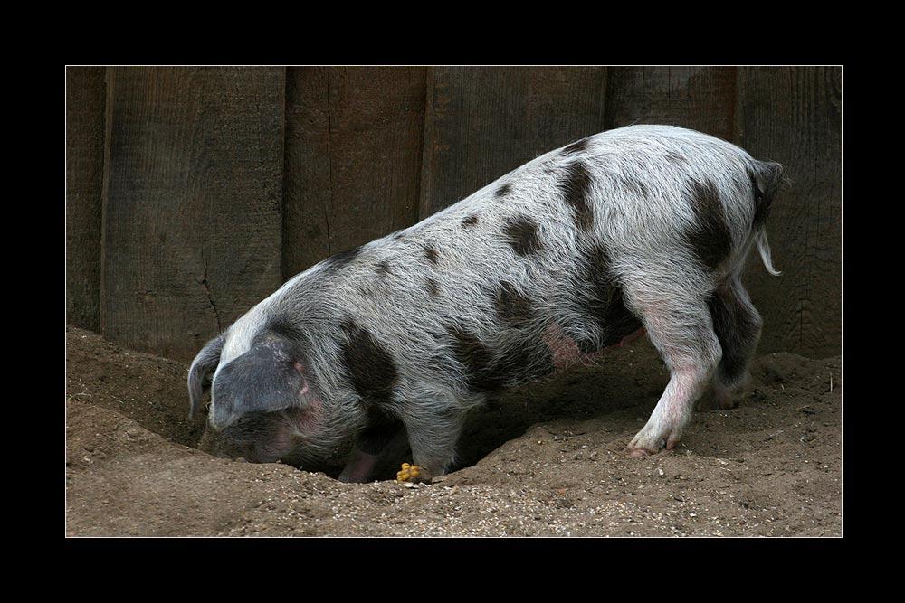 Diagonale Schweinerei