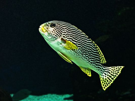 Diagramme à bandes diagonales -- Plectorhinchus lineatus- Aquarium des lagons, Nouméa