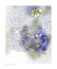 Dibujando hortensias 3
