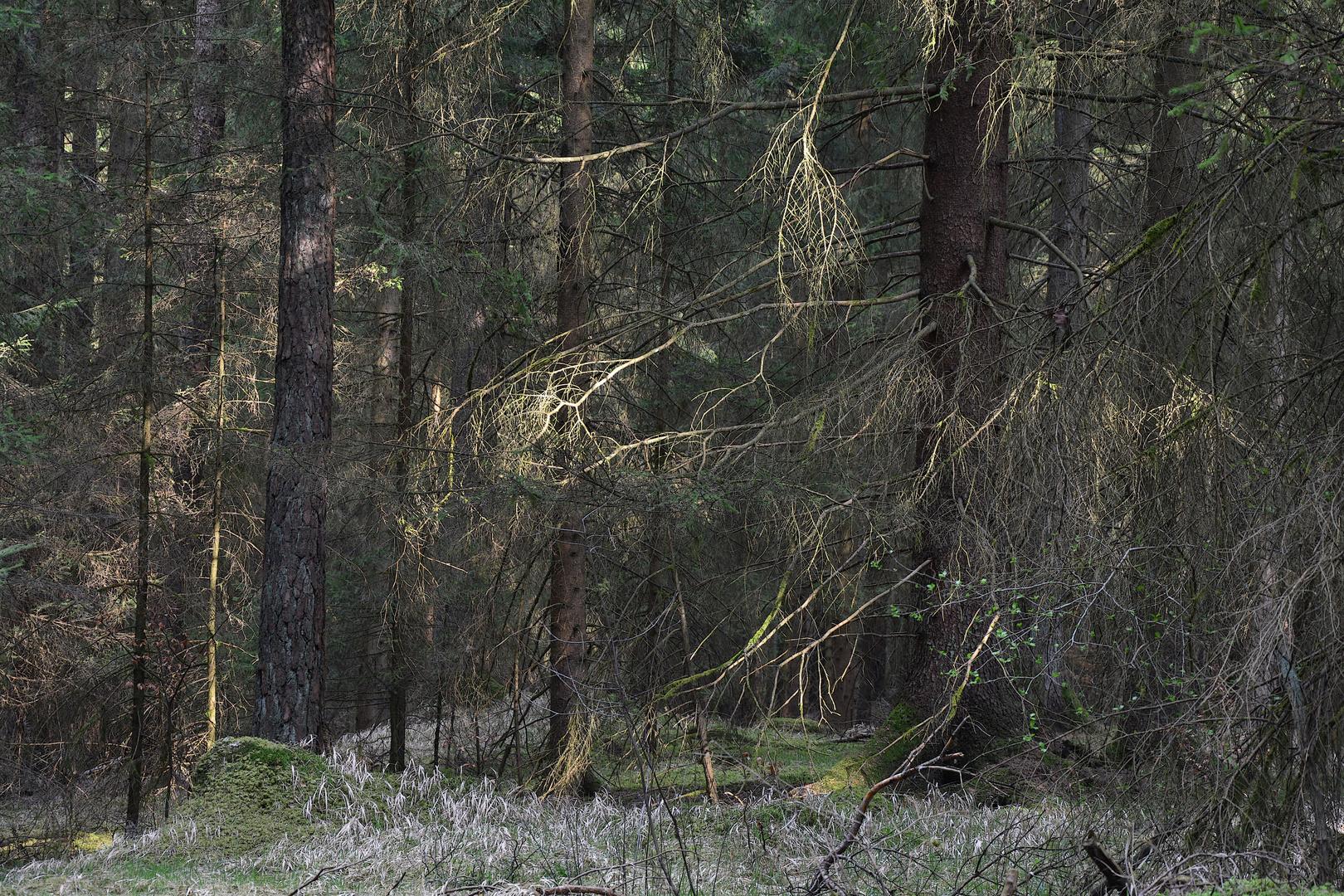 Dichter Wald im Lichtstrahl der Sonne...