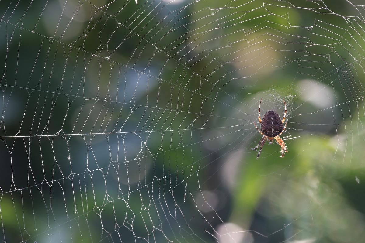 Dicke Garten Kreuzspinne im Netz