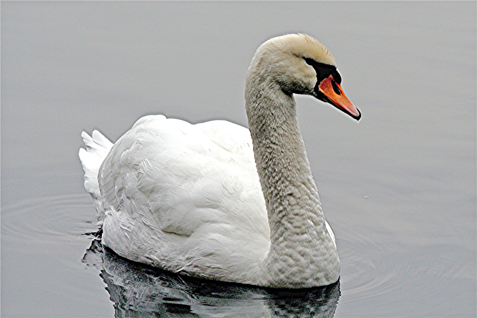 Dicke weiße Ente