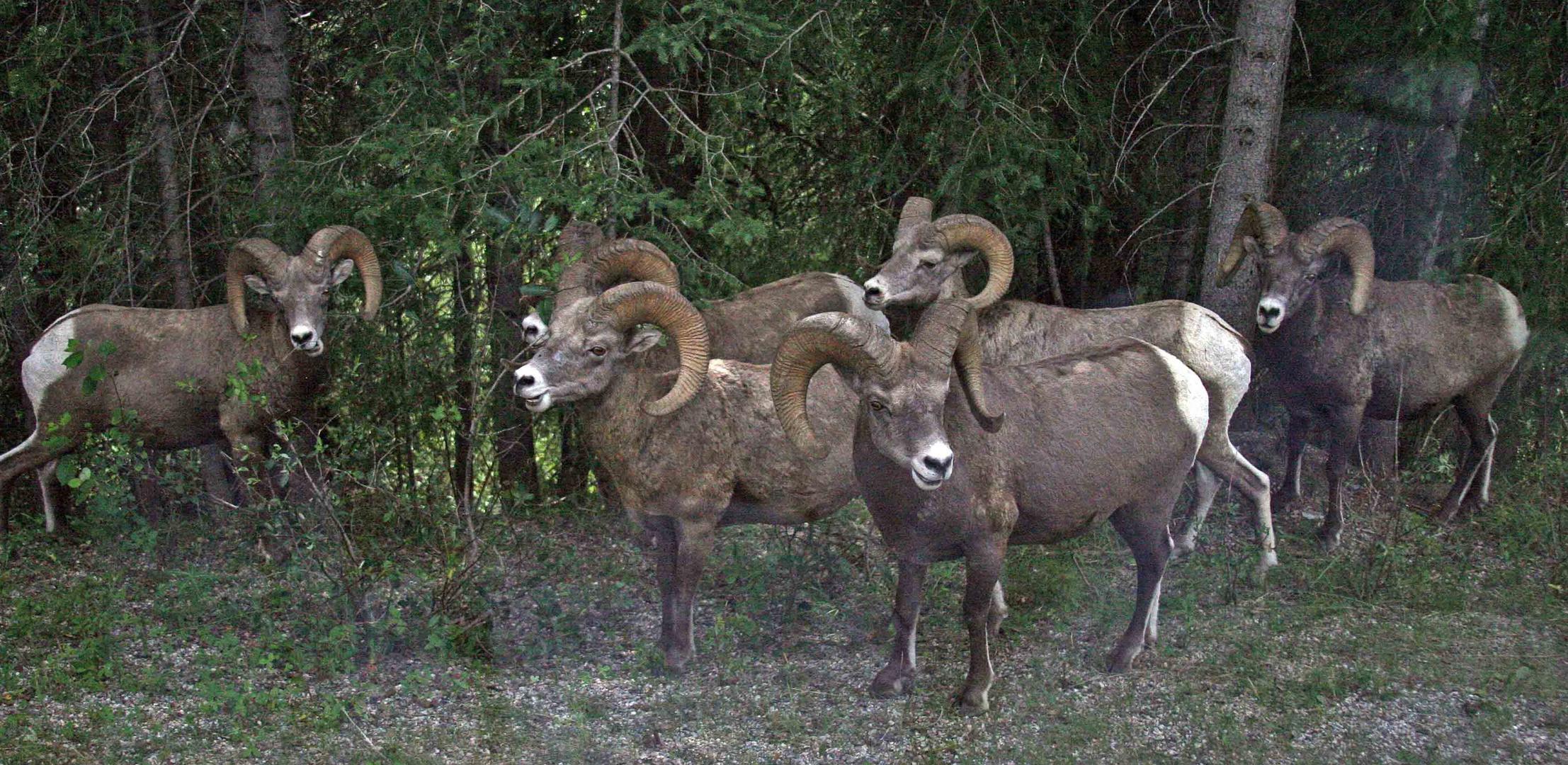Dickhorn Schafe (1)