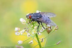 Dicono che le mosche sono brutte.....a me piacciono ;-)