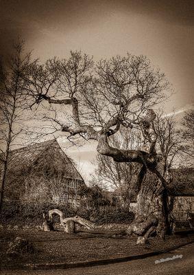 Die 1000 jährige Eiche in Dötlingen