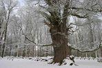 Die 1.200jährige Ivenacker Eiche im Winter