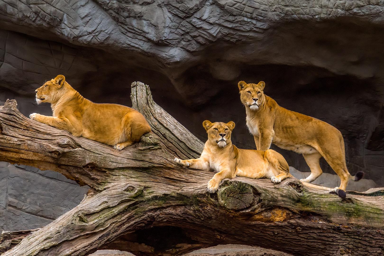 Die 3 Löwengirlz von Hagenbeck