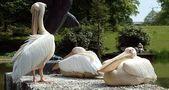 Die 3 Pelikane II von Britta S...