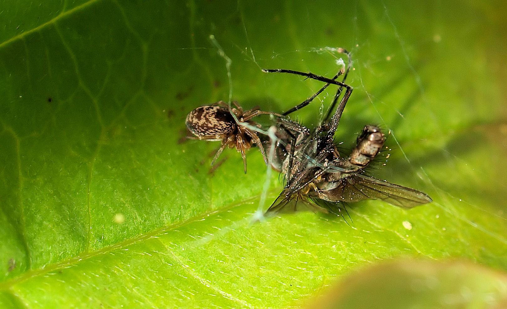 Die 3mm Spinne hat eine viel größere Fliege erlegt....