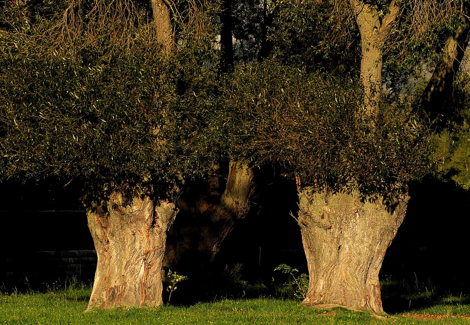 Die ältesten Bäume im Dorf