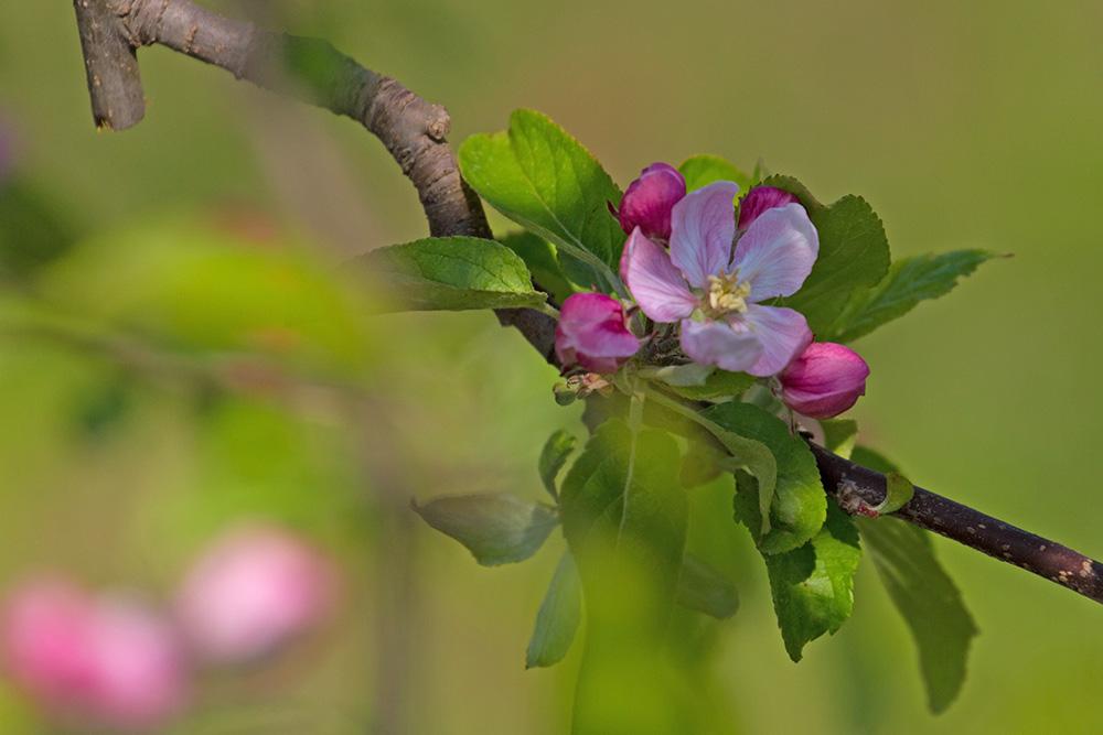 Die Äpfel blühen auch!