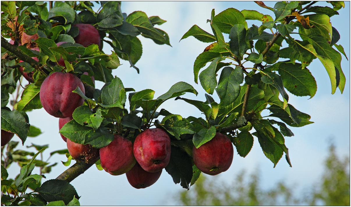 Die Äpfel sind reif!