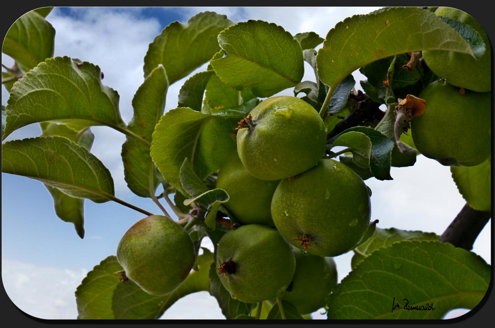 Die Äpfelchen...