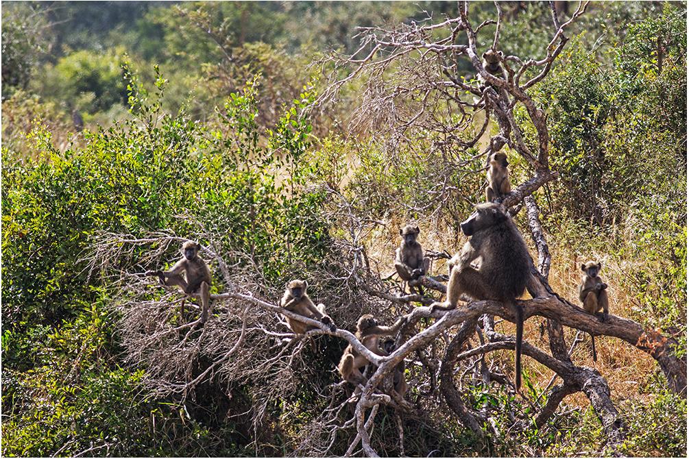 Die Affenbande ...