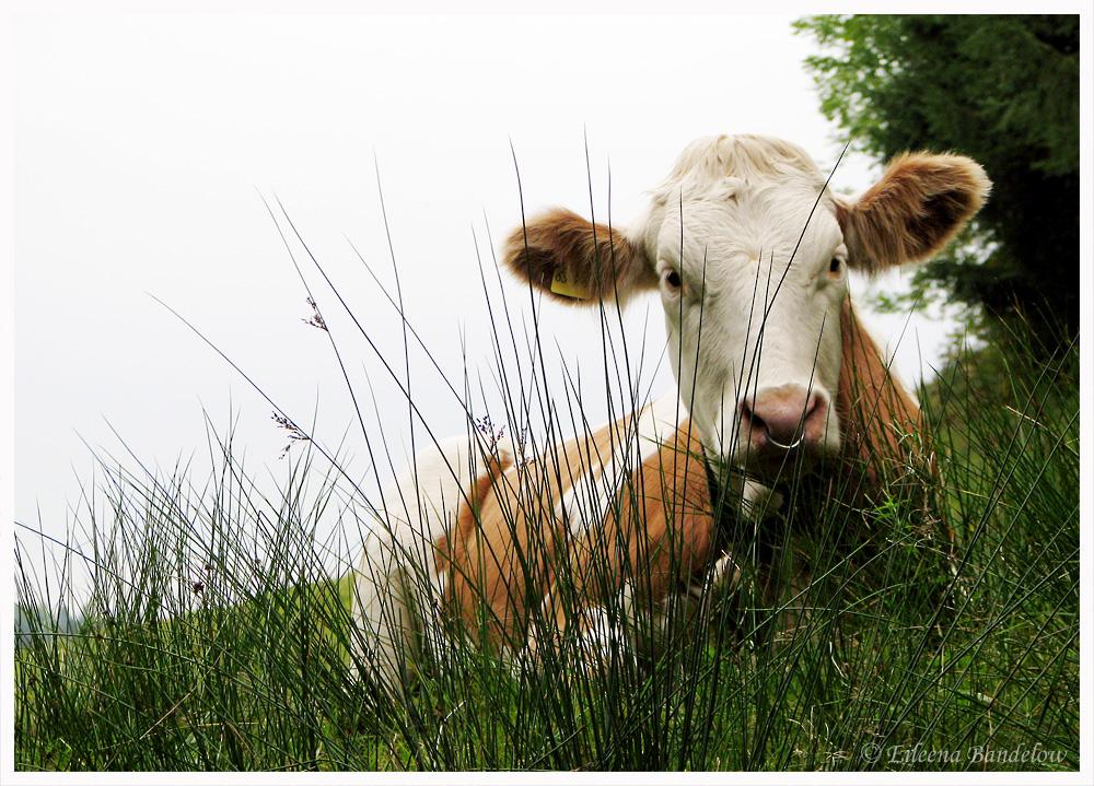 Die Allgäu-Kuh
