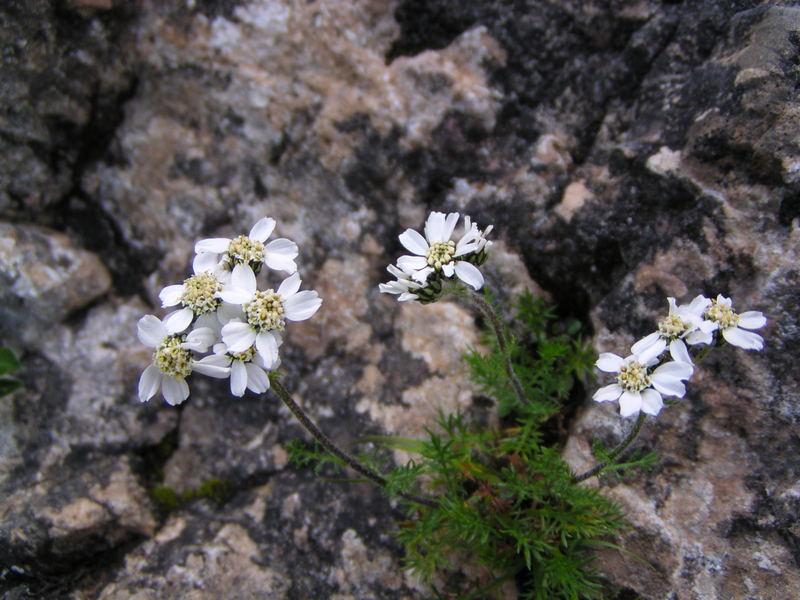 Die Alpen blühen