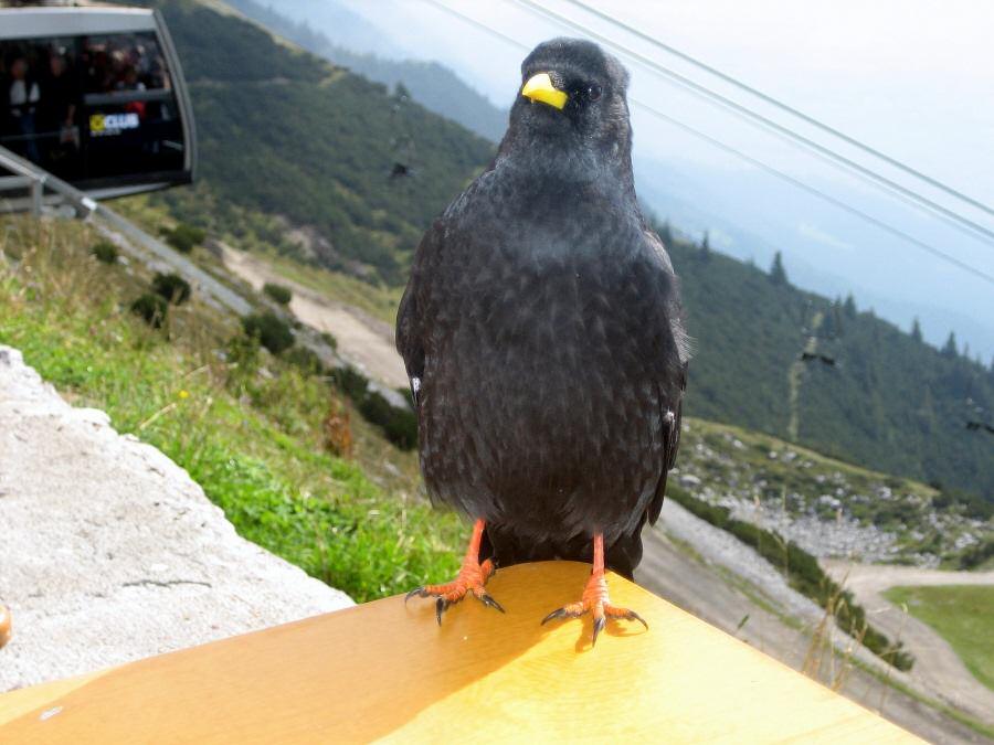 Die Alpenkrähe