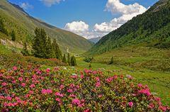 Die Alpenrosen