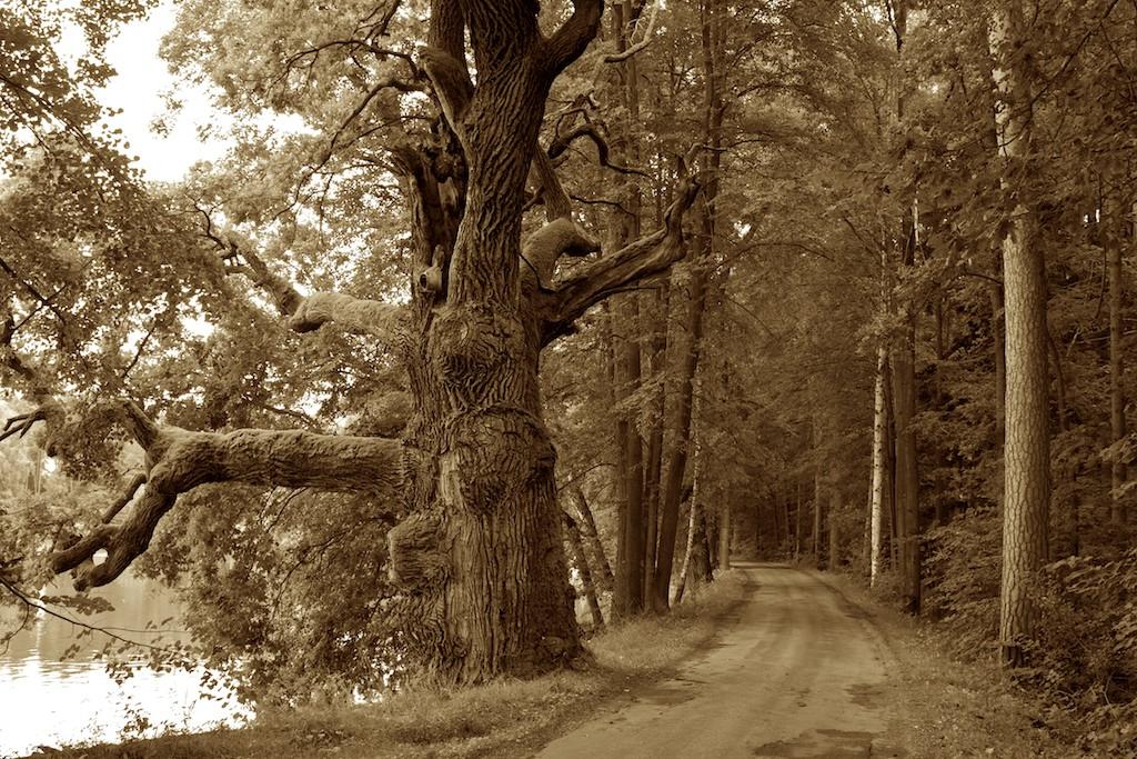 Die alte Eiche am Wegesrand