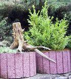 Die alte Wurzel und der junge Buchsbaum