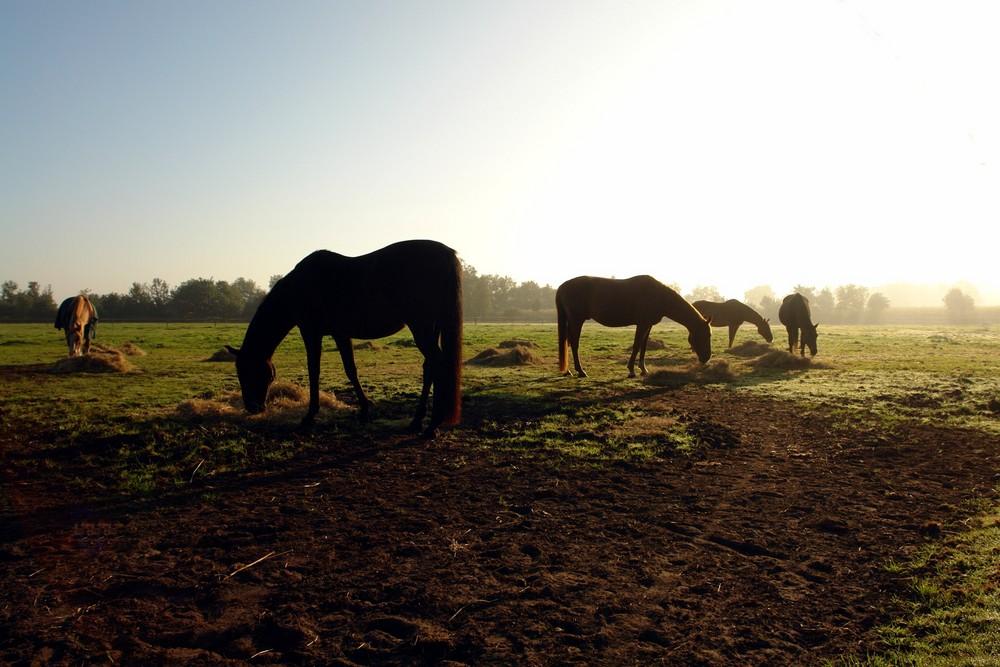 die alten Pferde im Nebel