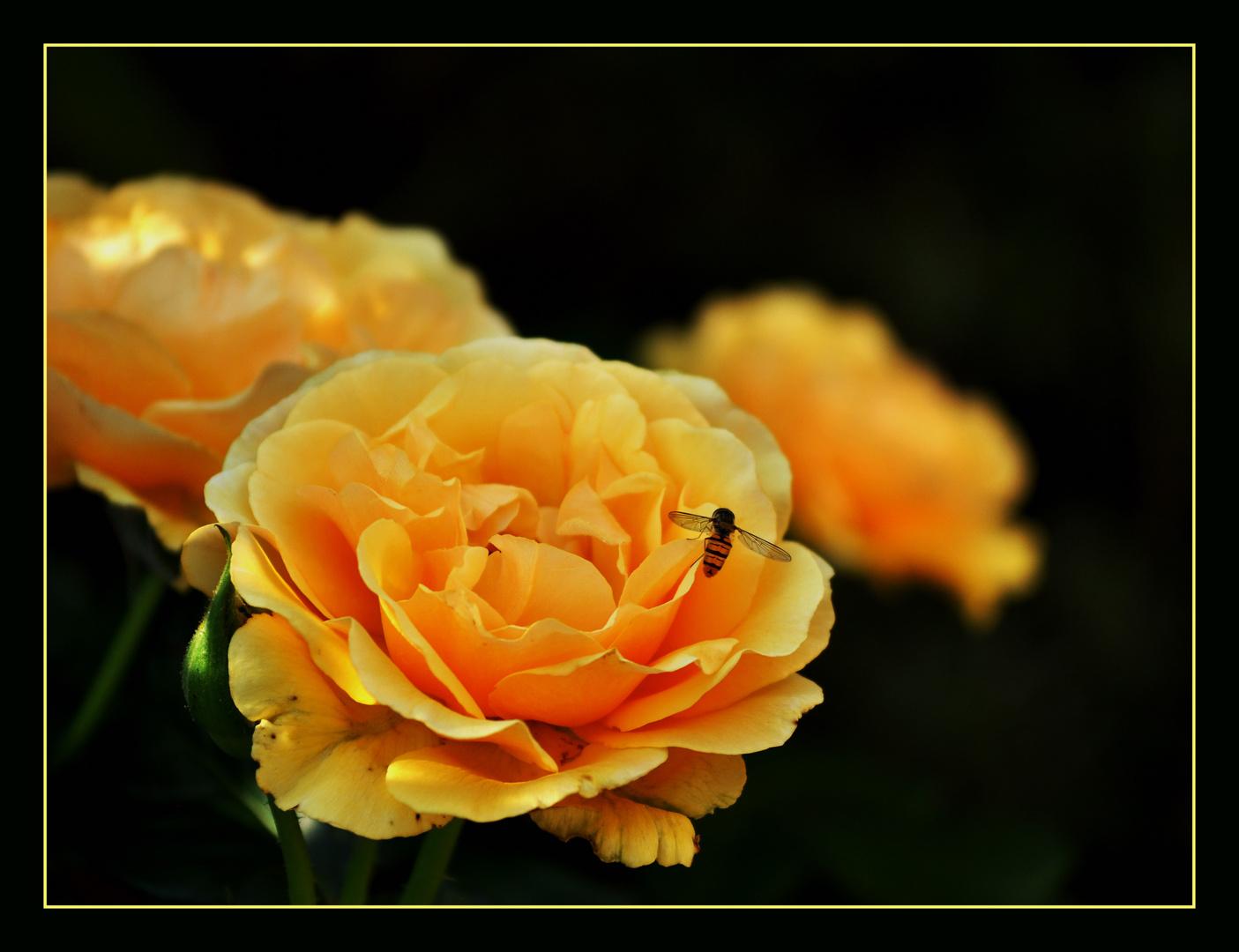 """Die """"Amber Queen"""" Rose"""