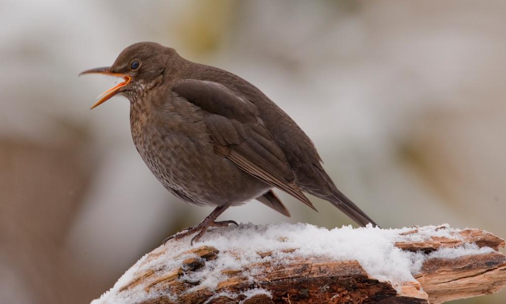 Die Amsel singt ihr Lied - auch im Winter