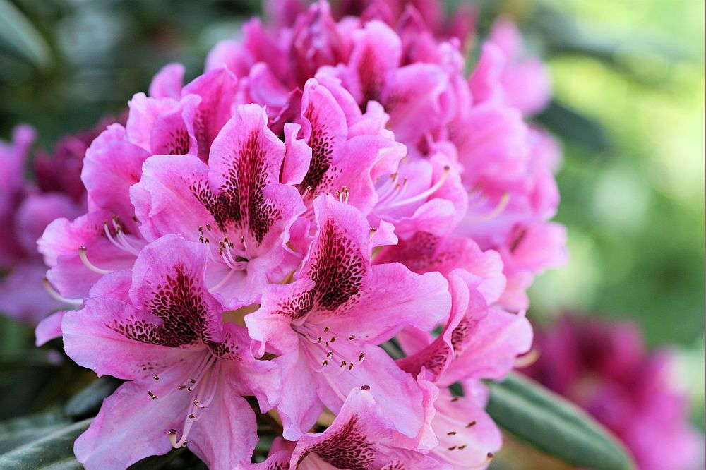 Die aparte Rhododendron