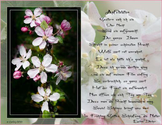 Die Apfelblüte