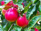 Die Apfelernte am Niederrhein...