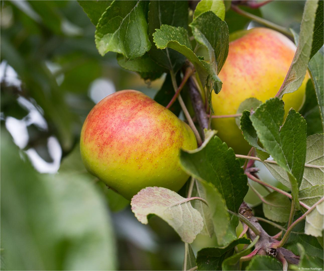 Die Apfelsorte Engelsberger